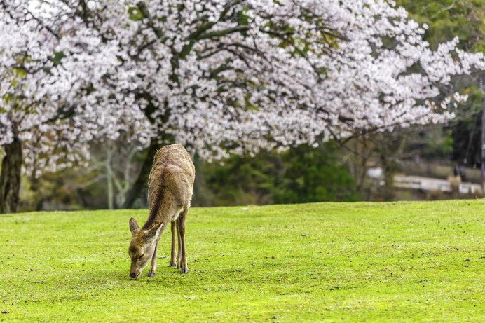 桜と鹿のコラボレーションが楽しめる「奈良公園」