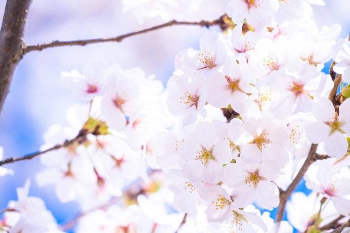 """大阪府、兵庫県の""""無料で楽しめる""""桜の名所""""情報!"""