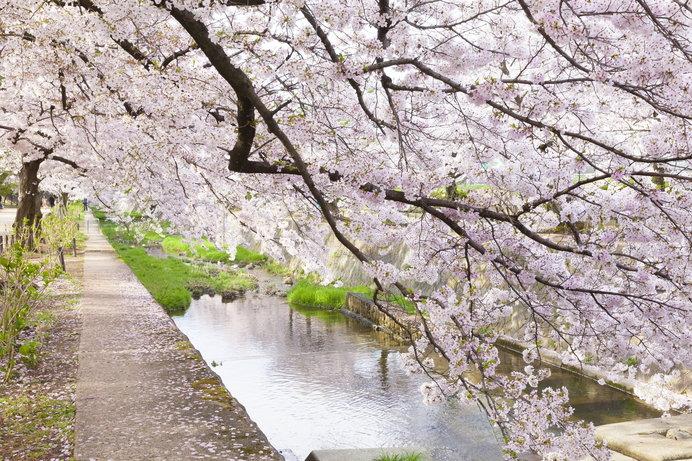 川沿いに満開の桜が舞う「夙川公園」