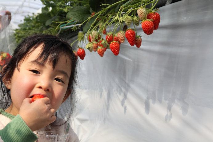 小さなお子さんの目の高さにいちごが並ぶ高設栽培 ※画像はイメージ