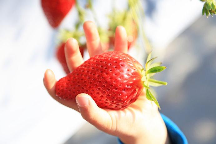 「ママ~、みてみて~!!」幼児の手の平くらいの大きさの苺にテンション⤴