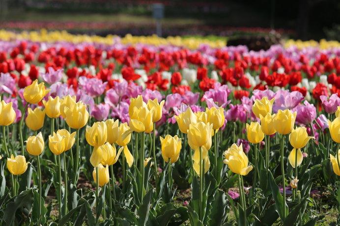 35万本以上のチューリップが咲き誇る「県営馬見丘陵公園」