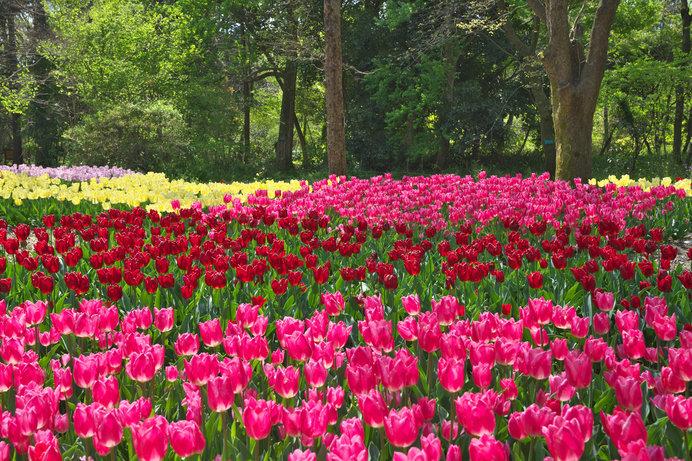 90種約3万本のチューリップが見事な「京都植物園」