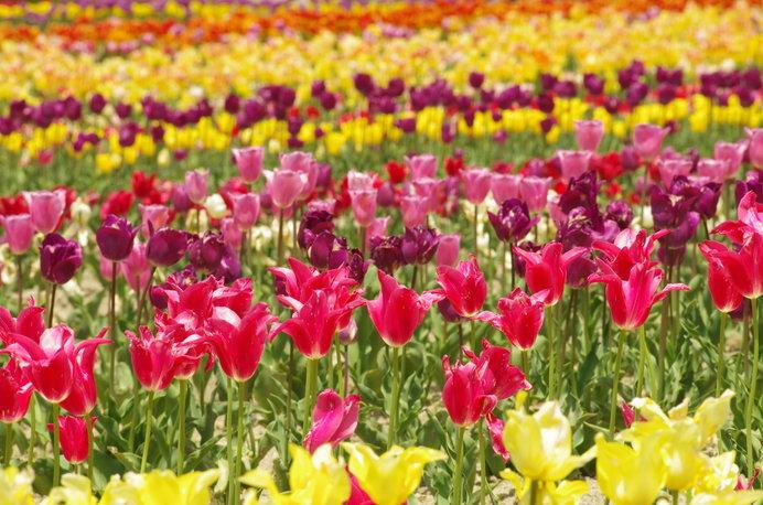 約120種13万本のチューリップが咲く「滋賀農業公園ブルーメの丘」