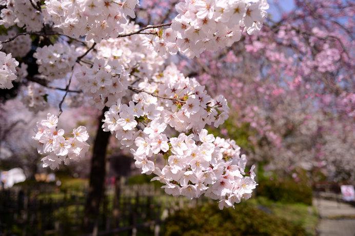 「福岡城さくらまつり」は3月下旬から開催