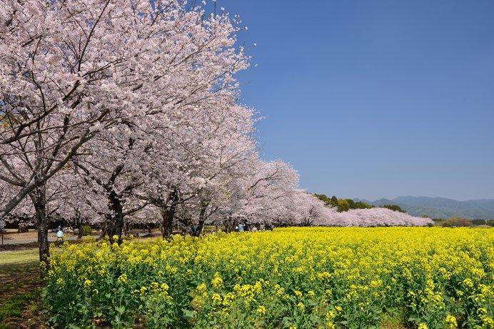 約2000本の桜と約30万本の菜の花が広がる景色は壮観!