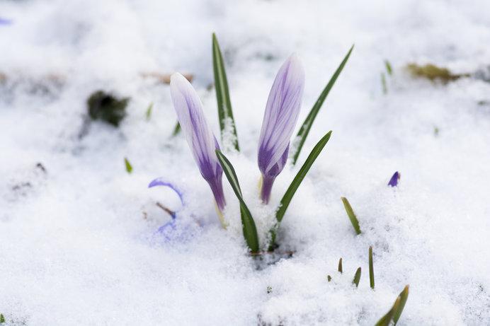 「知って得する季語」── 雪の見おさめ!「春の雪」_画像