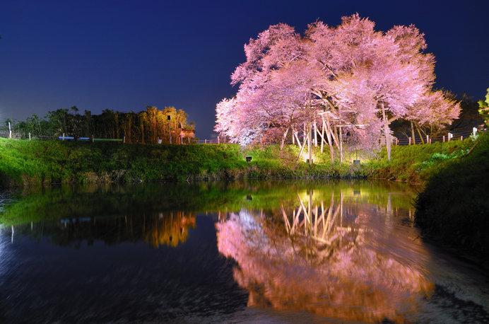 花密度が高く、こんもりとしたピンク色がかわいらしい