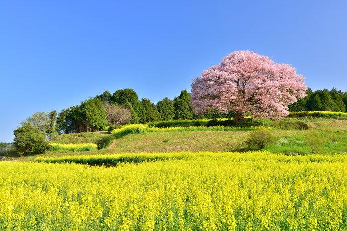 武雄市の天然記念物に指定されている、樹齢120年を超える「馬場の山桜」