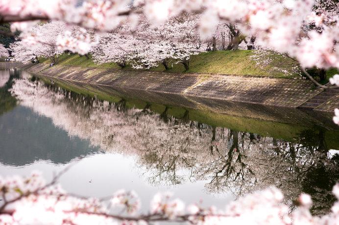 約2000本のソメイヨシノの桜並木は観ごたえあり!