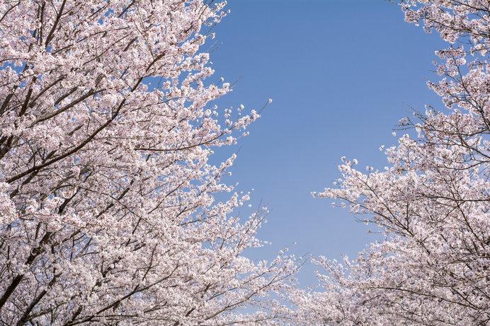 桜のトンネルをくぐれば、一気に春がやってくる♪