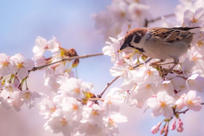 東京の開花を決めるサクラって?入場無料でお花見できる南関東の桜名所はここ!