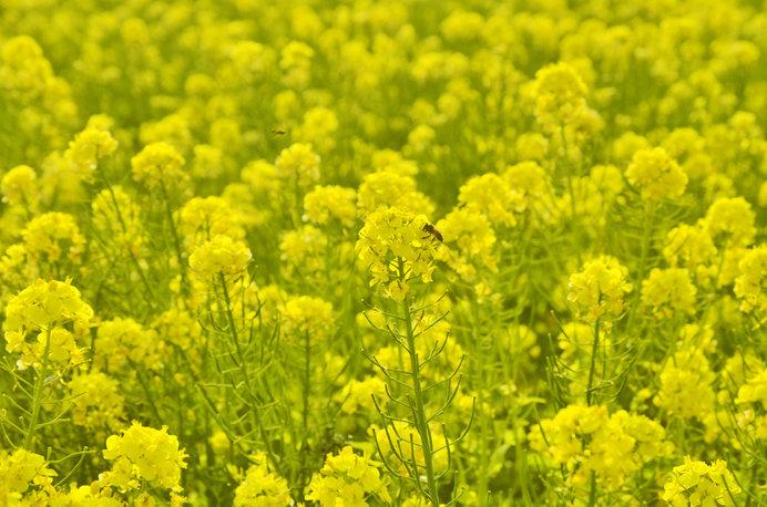 菜の花の花言葉は「快活」「明るさ」