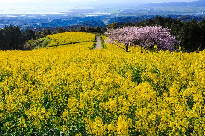 コスモスの名所として知られる「白木峰高原」ですが、春の菜の花も圧巻です!