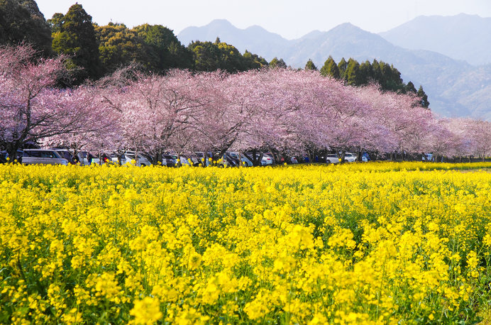 菜の花と桜の競演! 花と歴史の名所に出かけてみませんか