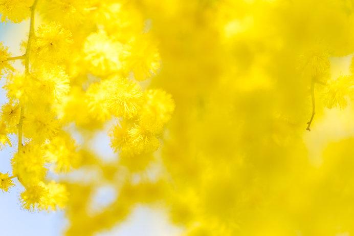 3月3日は雛祭り、3月8日は国際女性デー。幸せの黄色い花咲く春の到来!