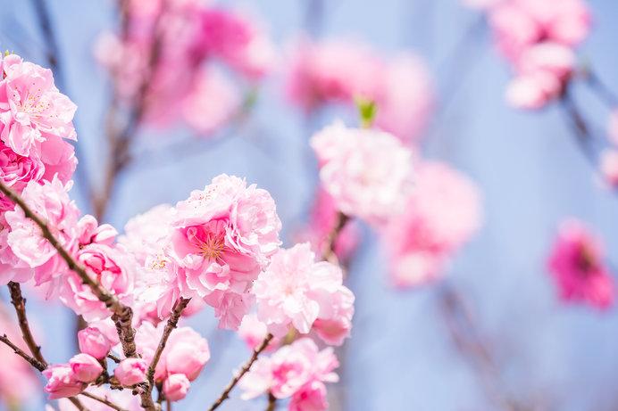 3月3日は上巳の節句。女の子の健やかな成長を祝います