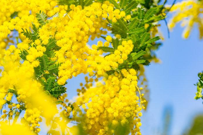 3月8日は国際女性デー。イタリアでは男性が身近な女性にミモザの花を贈ります