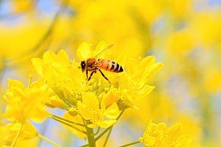 私たち人間もミツバチも待ちわびた春はすぐそこ。3月8日は「ミツバチの日」です