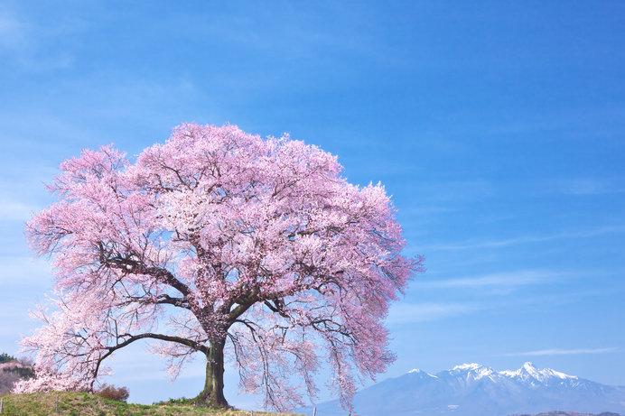 迫力の一本桜!その圧倒的な美しさとは?人々を癒し、歴史を語るサクラの木に逢いに行こう♪