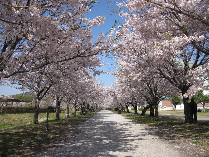 真っすぐに伸びる全長200mの桜のトンネル