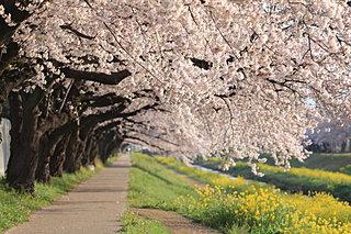 東海地方の桜の名所!家族でのお花見にオススメの4スポット
