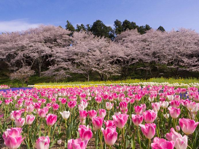桜とチューリップを同時に楽しめるのが魅力!