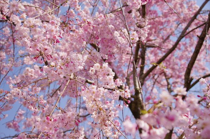 桜とフルーツを同時に楽しめる「東谷山フルーツパーク」なら、子どもも大喜び!