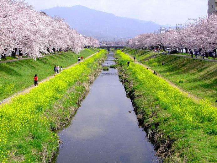 連なる780本の桜と同時に見ごろを迎える菜の花