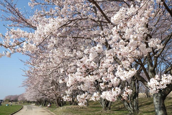 歴史ある桜の名所「宮川堤」