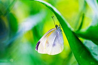 春はさかりへ「菜虫化蝶(なむしちょうとなる)」です