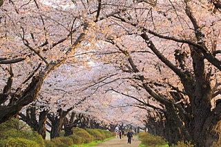 令和最初のお花見も♪東北の桜はこれから!ゴールデンウィークにおすすめの桜まつりは?