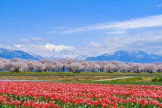 桜とチューリップ、ぼんぼり、桜トンネル、無人駅…人の温もりに触れる♪北陸の桜に逢いに行こう!