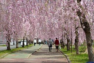 桜前線、いよいよ東北へ! 平成最後のお花見を締めくくる東北の桜に逢いに行こう♪