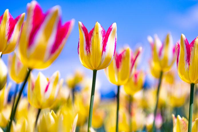 春爛漫!チューリップを観に行こう♪