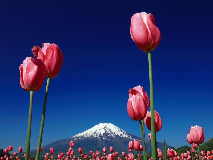 チューリップと富士山で「インスタ映え」が簡単に!