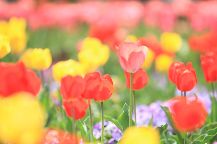 春は3.3ヘクタールの花畑をチューリップが埋め尽くす