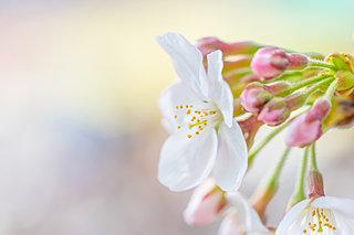 みんなが待っていた桜! 第十一候「桜始開(さくらはじめてひらく)」です