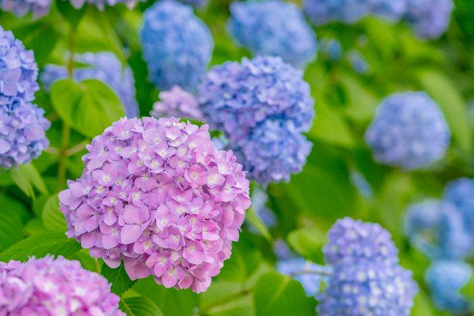 初夏の花といえば……紫陽花