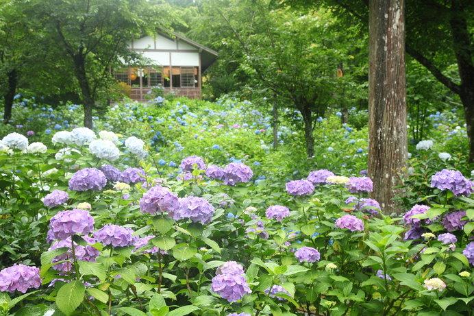 30種1万株の紫陽花が咲き誇る「三千院」