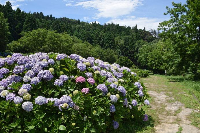 1万株の紫陽花が咲き美しい景観の「余呉湖あじさい園」