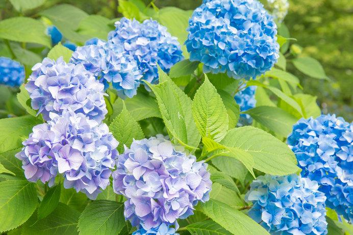 藍色の花の集合体である紫陽花は、夏の花の代名詞のひとつです!