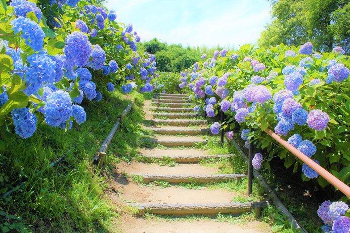 約50種8500株の紫陽花が咲く「蜻蛉池公園」