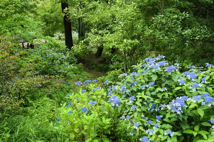 25種5万株の紫陽花が咲いている「神戸市立森林植物園」
