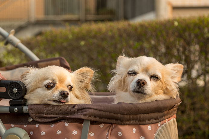 老犬になりお散歩がしんどいときは、ペットカートを利用しよう!