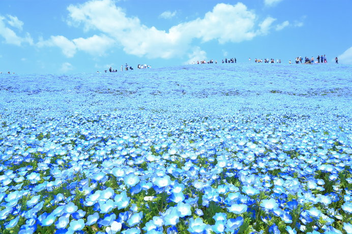 2品種約450万本のネモフィラで青く染まった「みはらしの丘」