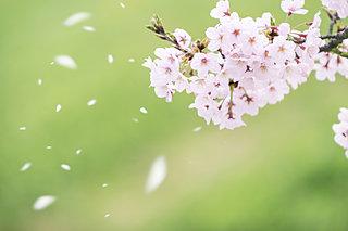 桜咲く季節に吹く、桜吹雪をつくる風の名前は?