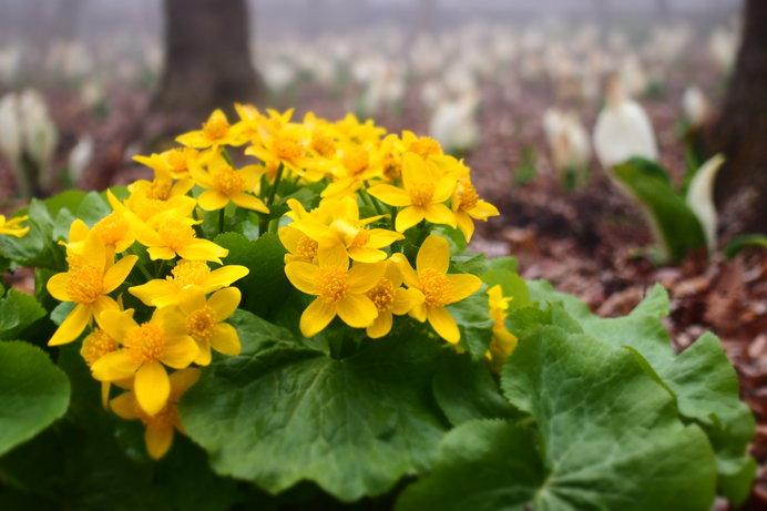 4月中旬~下旬が見ごろのエゾノリュウキンカ(画像:箱根湿生花園)