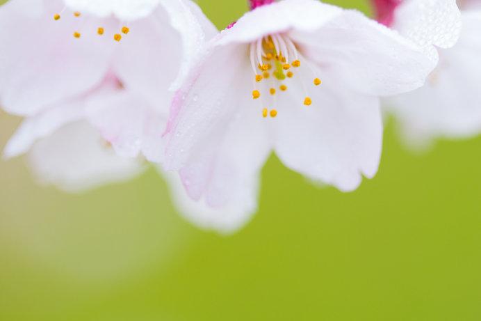 春に雨が多いのはなぜ?「春雨」と「春の雨」は違う?(tenki.jpサプリ ...