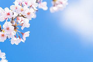 100円硬貨の桜は何桜?桜ワールドを楽しもう!